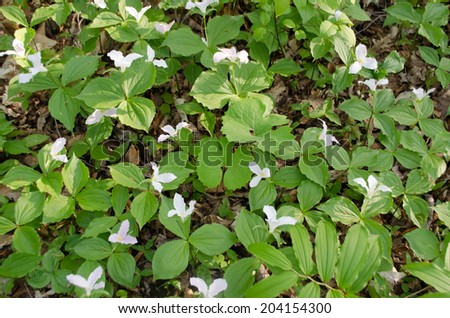 trillium blooming in forest - stock photo