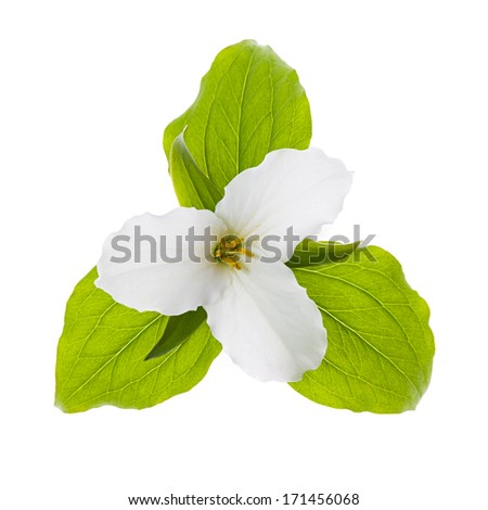 Trillium Ontario provincial flower with leaves isolated on white background - stock photo