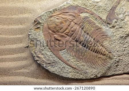 Trilobite paradoxides sp.  - stock photo