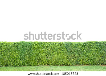 trimed shrub fence isolated on white,clipping path - stock photo