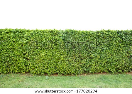 trimed shrub fence isolated on white with clipping path - stock photo