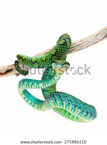 Trimeresurus trigonocephalus, also known as Sri Lankan Palm Viper, a venomous tree snake found in the grasslands and rain forests of Sri Lanka - stock photo