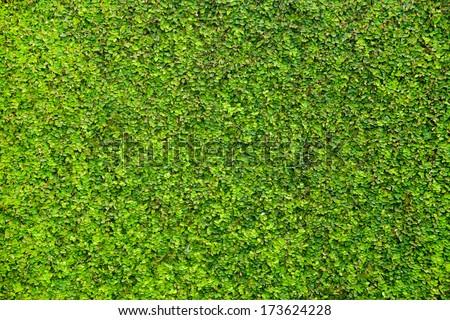 Trimmed bush texture - stock photo
