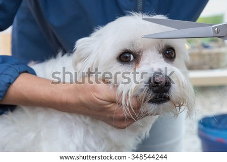 Trimming hair on the head of the cute white Maltese dog by scissors. The dog is looking at the camera.