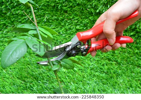 Trimming rose flower branch with pruner - stock photo