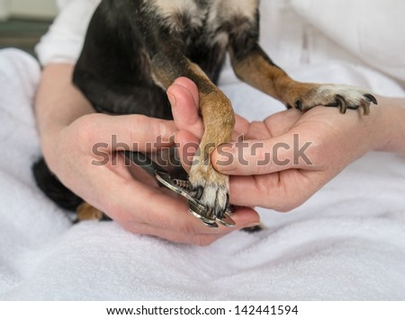 Trimming Small Dog's Toenails or Claws with Clipper.  - stock photo