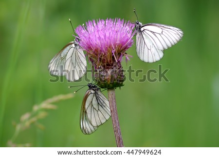 Trio Black-veined White butterflies (Aporia crataegi) in the pink flower - stock photo