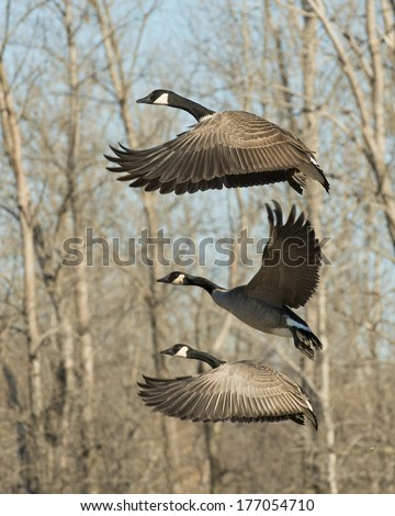 Trio of flying Canadian Geese - stock photo