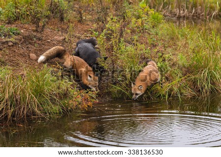 Trio of Fox (Vulpes vulpes) Look into Water - captive animals - stock photo