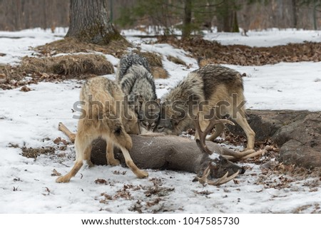 Trio of Grey Wolves (Canis lupus) at White-Tail Deer Carcass - captive animals