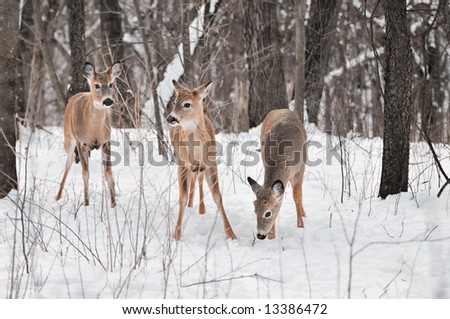 Trio of White-Tailed Deer (Odocoileus virginianus) in Snowy Woods - stock photo