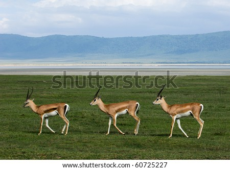 Trio. Three gazelles of the grandee synchronously go on a green grass against a mountain landscape. - stock photo