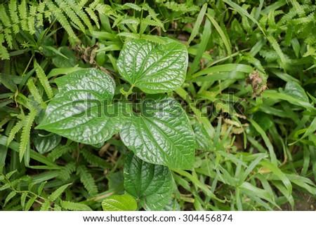 Triple leaves on green fresh grass - stock photo