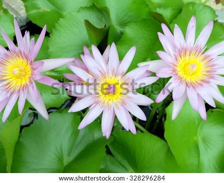Triple lotus in the tub - stock photo