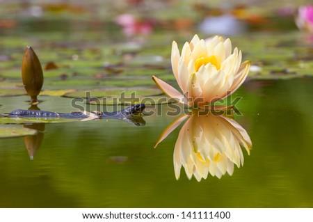 Triton near water lilies - stock photo