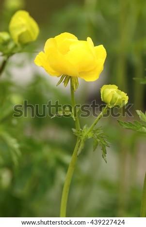 Trollius europaeus in blossom - stock photo