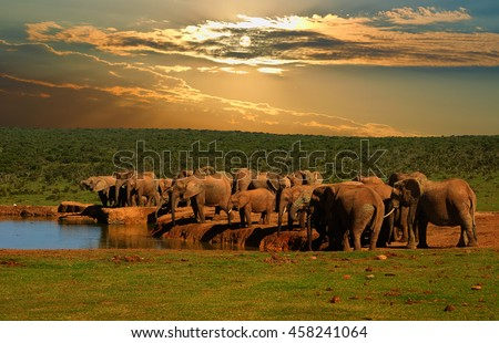 Troop, herd of elephant, Loxodonta africana, drinking at the water hole in late afternoon in Addo Elephant National Park - stock photo