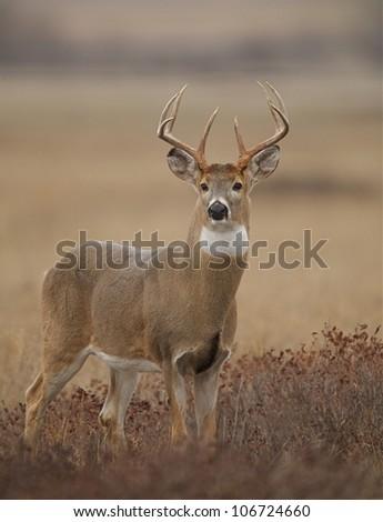 Trophy Buck Deer (vertical), standing alert in grassland / prairie habitat - stock photo