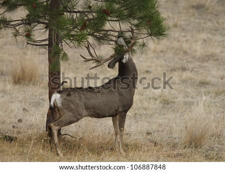 Trophy class Mule Deer Buck working a scrape - rarely captured rutting behavior! - stock photo