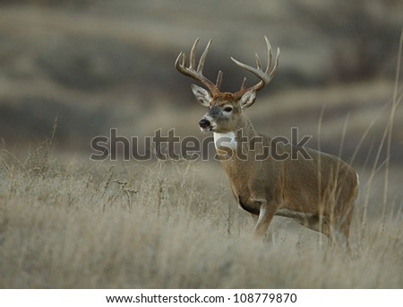 Trophy class white tailed buck deer in midwest prairie habitat - stock photo