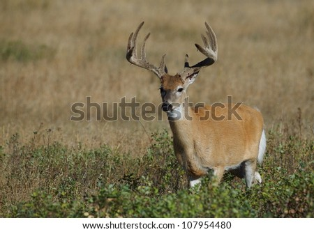 Trophy-class Whitetail Buck about to shed his velvet, horizontal format - stock photo