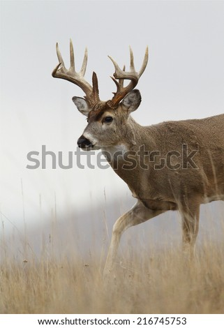 Trophy class whitetail buck deer walking thru prairie meadow broken tines / antlers Big game hunting white tailed deer with archery bow gun free range buck photographed in the wild, not in a cage