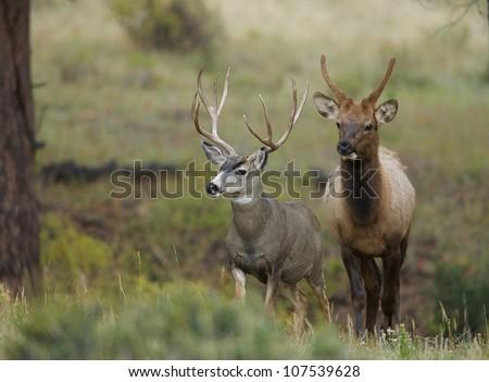 Trophy Mule Deer Buck with young bull Elk in background - stock photo
