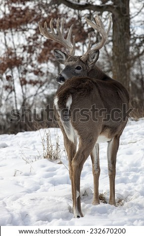 Trophy size white-tailed deer buck looking over his shoulder.  Late autumn in Wisconsin. - stock photo