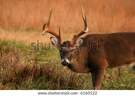 Trophy white tail buck