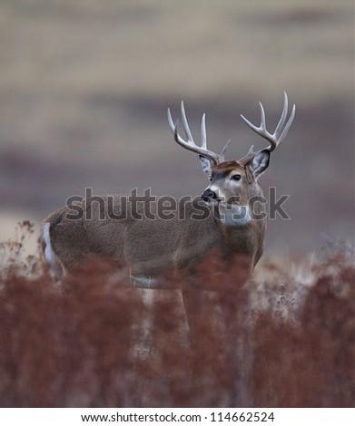 Trophy White tailed Buck Deer; midwestern deer hunting, midwest Whitetails / White tail / White-tail / Whitetailed / White tailed - stock photo