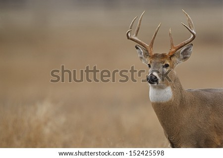 Trophy Whitetail Buck Deer Stag, portrait, midwest deer hunting big game season for White Tailed deer in midwestern states - stock photo