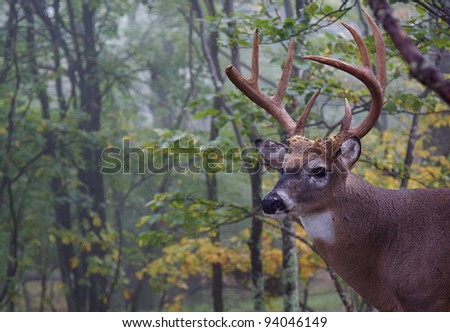 Trophy Whitetail Buck, Portrait with Woodland Background - stock photo