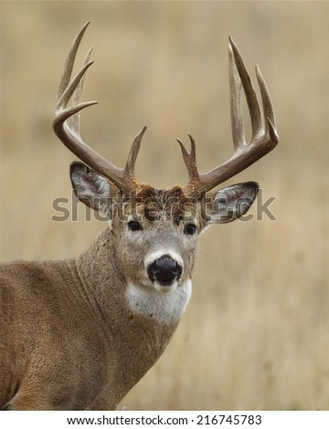 Trophy Whitetail Buck with very heavy 10 point antlers close up highly detailed portrait Big game hunting white tailed deer with archery bow gun free range buck photographed in the wild, not in a cage