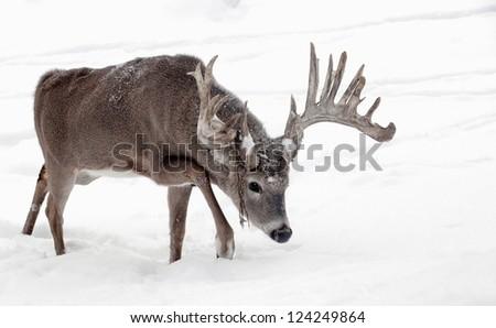 Trophy whitetail deer buck walks through the snow.  Winter in Wisconsin - stock photo