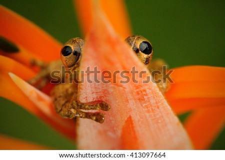 Tropic frog Stauffers Treefrog, Scinax staufferi, sitting hidden in the orange bloom flower. Frog in the nature tropic forest habitat. Costa Rica. Rare animal from Central America. Frog in the forest. - stock photo
