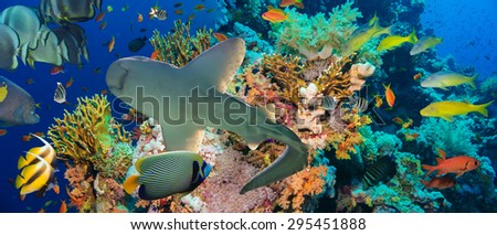 Tropical Anthias fish with net fire corals and shark on Red Sea reef underwater - stock photo