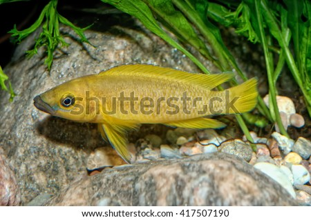Tropical aquarium fish from genus Neolamprologus