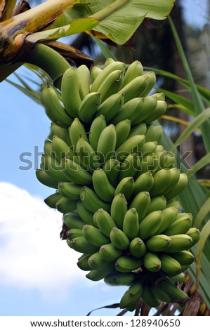 Tropical Banana Tree Grown On A Farm In Maui, Hawaii - stock photo