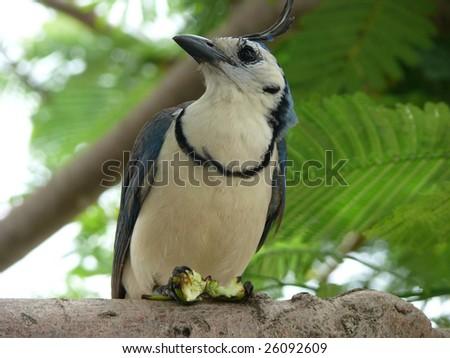 Tropical Bird, Isla de Ometepe, Nicaragua - stock photo
