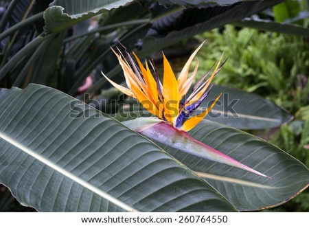 tropical bird of paradise, blooming - stock photo