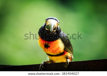 Tropical, bird, tucan, wild, toucan, wildlife, wreck, green-billed red-breasted toucan, Ramphastos dicolorus, eating, fruit, jungle, nature, close up,