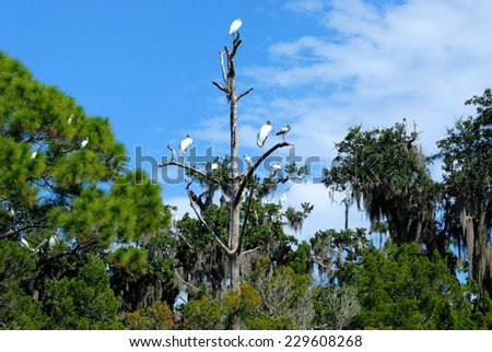 Tropical Birds in the wild at the marsh lands of Florida, USA. - stock photo