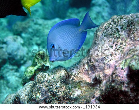 tropical blue fish underwater undersea