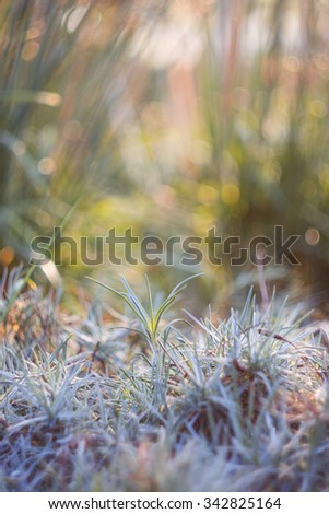 Tropical blue-gray grass blurred nature background with shallow focus - stock photo