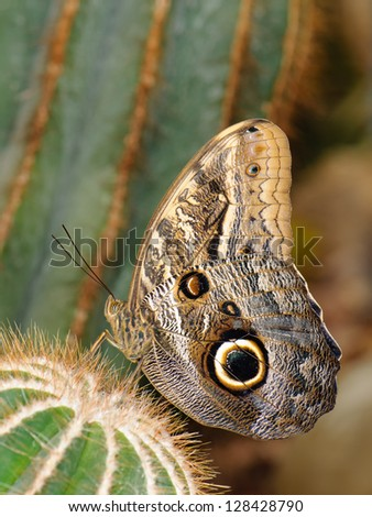 Tropical butterfly (Owl butterfly) sitting on spiky cactus - stock photo