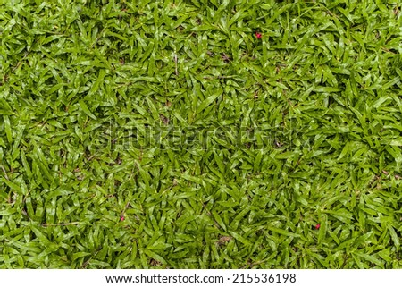 Tropical carpet grass  - stock photo
