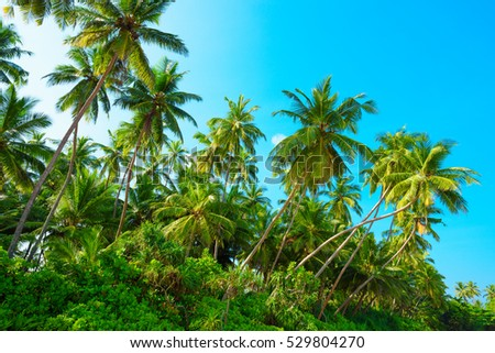 Tropical coconut palm tress on a sunny summer day