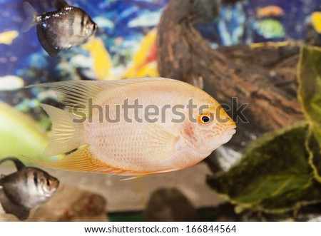 Tropical colorful fishes swimming in aquarium with plants - stock photo
