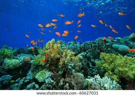 Tropical Coral Reef and Lyretail Anthia Fish - stock photo