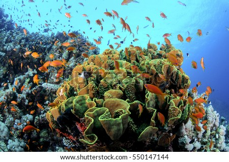 Tropical Coral Reef,Red sea.